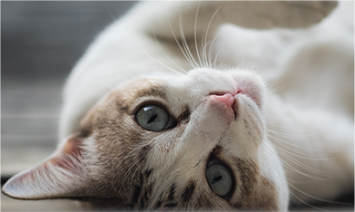 Pet Wellness Care in Lewisville: Cat Laying On Back
