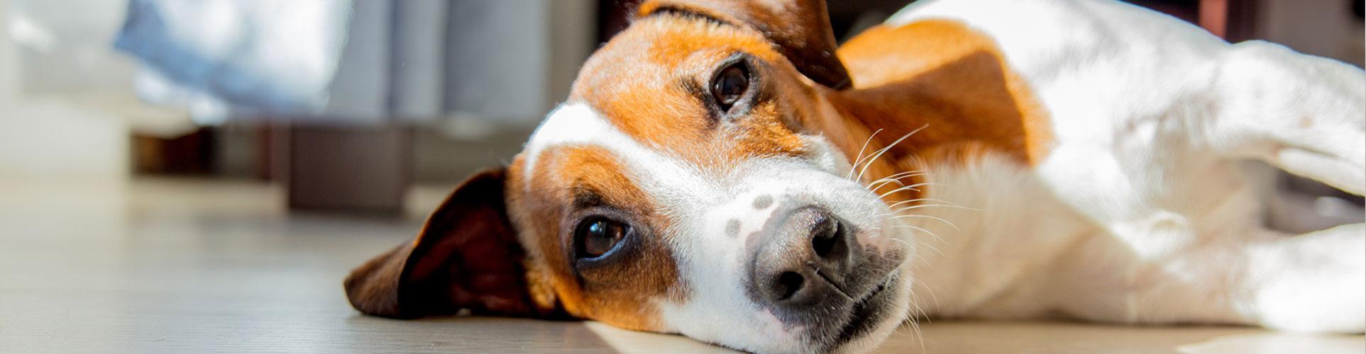 bown-white-dog-laying-down