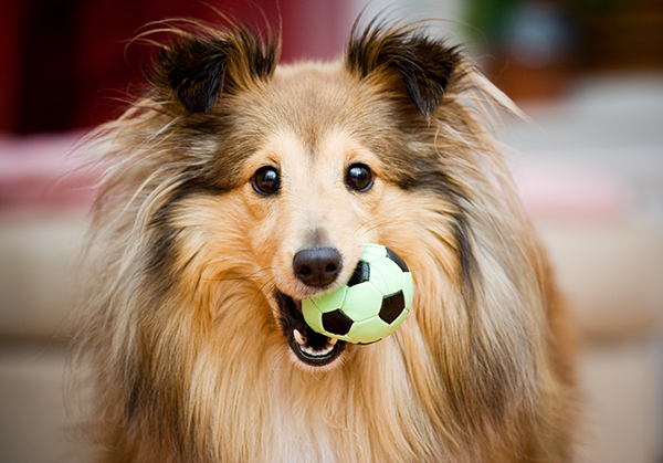Pet Dental Care in Lewisville: Dog Carrying Chew Toy