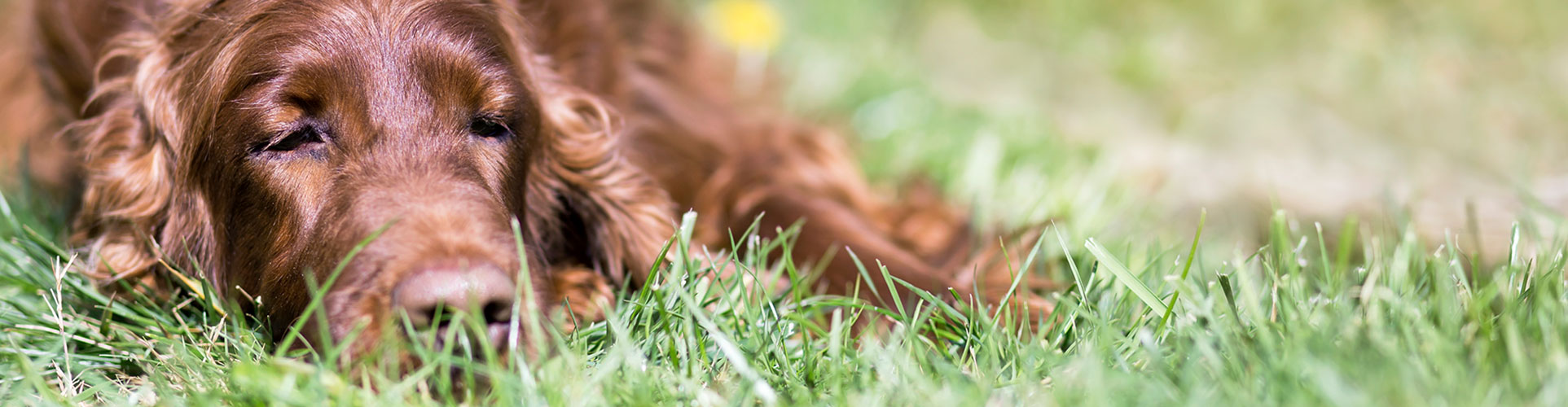 Pet End of Life Care in Lewisville: Old Dog Laying in the Grass
