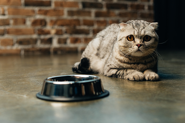 Pet Dental Care in Lewisville: Cat Laying Near Bowl